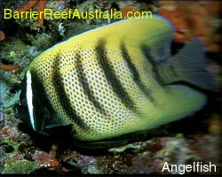 Angel Fish - the reef off Australia's Eastern Coast