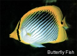 butterfly fish - beauty of the reef
