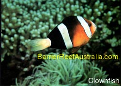 Clown Fish - colourful fish species of the reef