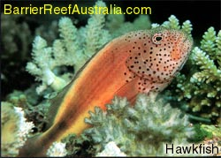 Hawk Fish, great barrier reef